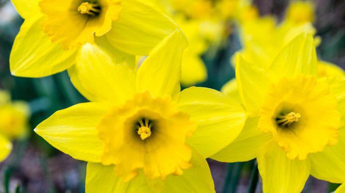 daffodil-bouquet-bright-1210x680-690x387